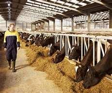 factory.farming.cows.jpg
